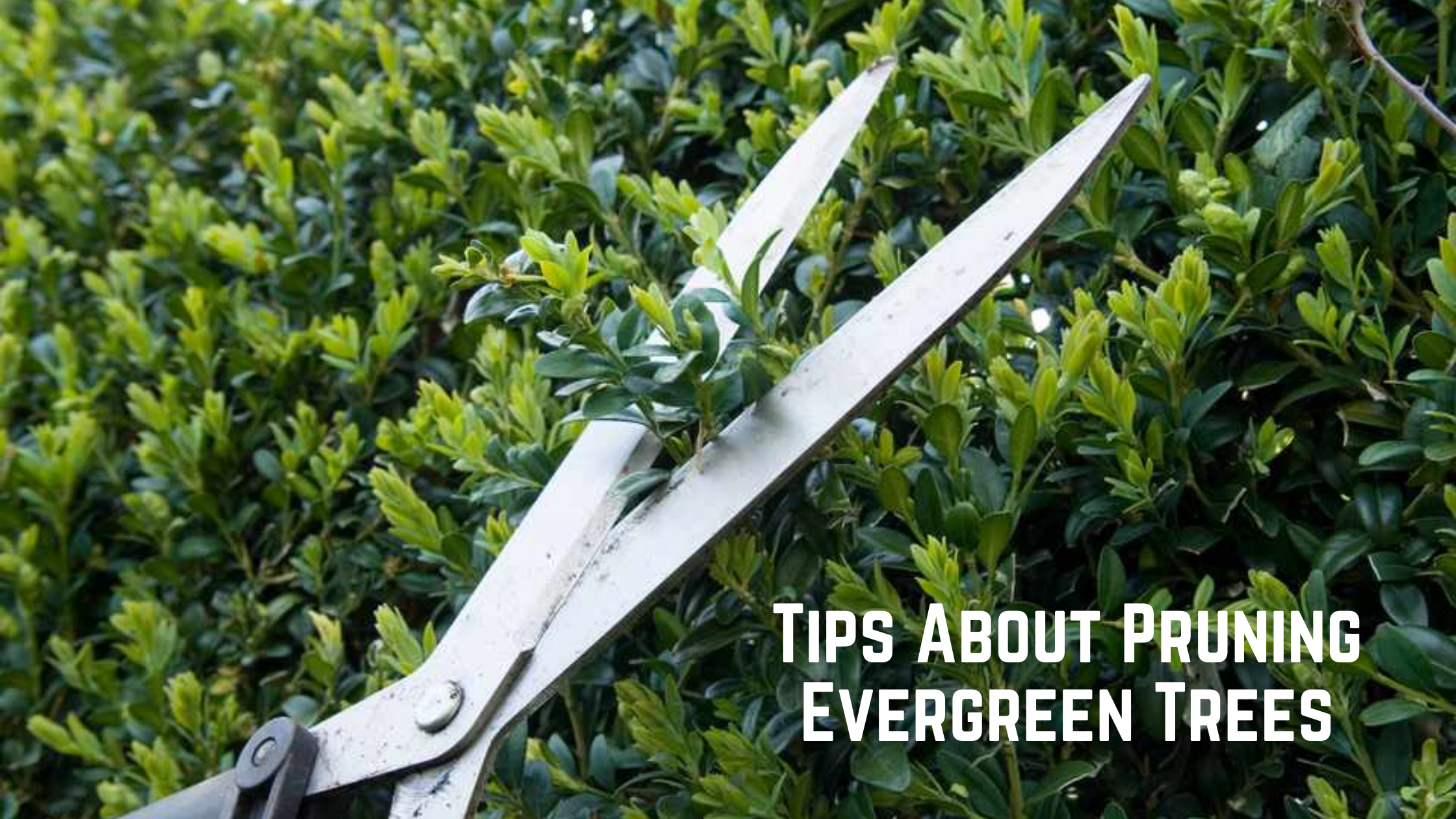 Some Tips and Tricks About Pruning Evergreen Trees