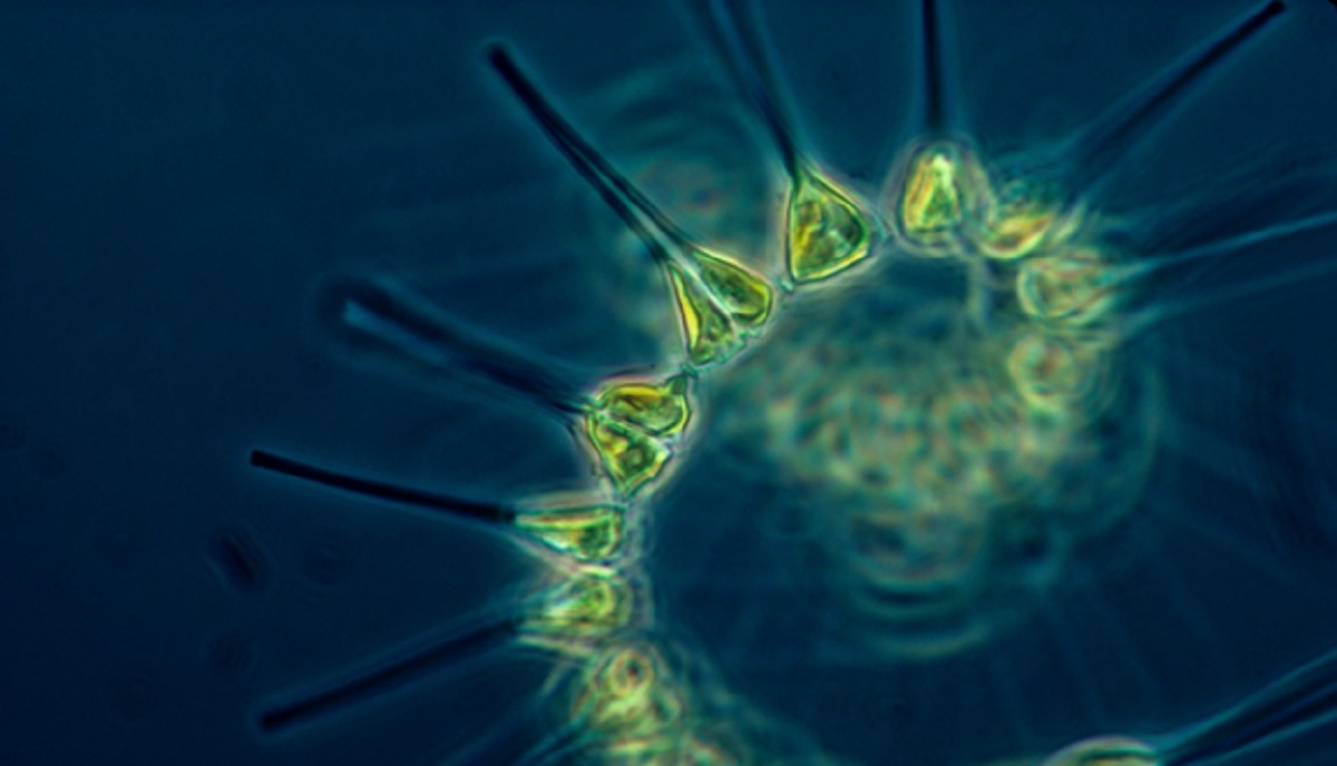 Great Phytoplankton Benefits for Your Aquarium